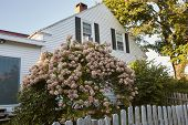 Pink Hydrangea Shrub Against A Gray Wooden Post Fence In A Residential Neighborhood In Bar Harbor, M poster