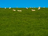 Flock of sheep lazily grazing on green grassy hill