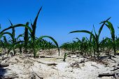 stock photo of drought  - Dry ground and drought conditions in an Illinois cornfield - JPG