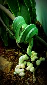 Green emerald snake laying eggs