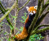 Closeup Of A Red Panda Climbing In A Tree, Endangered Animal Specie From Asia poster