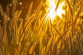 Wild Meadow Pink Flowers On Golden Sunlight Background. Silvergrass, Is A Species Of Flowering Plant poster