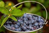 Honeysuckle Raw Berries In Bowl. Blue Honeysuckle (lonicera Caerulea Edulis, Honeyberry, Blue-berry  poster