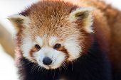 Close Up Of A Red Panda