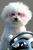 Bichon Frise Dog. Funny Dog Head Shots. Cute Smiling Pure Breed Bichon Dog.  poster