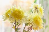 Yellow Dahlias Flowers In Vase. Flower In Vase At Sunny Day. Flowers For Postcard And Home Decoratio poster