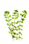 picture of origanum majorana  - freshly picked marjoram twigs before a white background - JPG