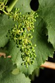 Young Grapes