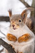 Portrait Of A Squirrel On A Tree Trunk. A Curious Red Squirrel Sits On A Tree Trunk In Winter Park.  poster
