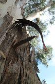 Peeling Paperbark Tree