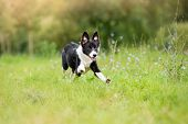 stock photo of little puppy  - happy border collie puppy running through a meadow - JPG