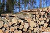 picture of coniferous forest  - Stack of wooden logs with coniferous forest and blue sky background - JPG