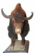 stock photo of taxidermy  - taxidermy mount of a big bull isolated over white background - JPG