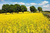 campo de plantas de colza para energia verde