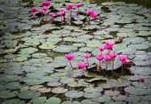 Lotus flowers In Pond