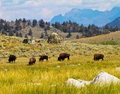 stock photo of lamar  - Bison grazing in Lamar Valley - JPG
