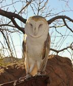 A Barn Owl On A Zoo Docent's Glove