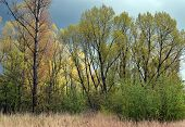 Poplar trees in spring.