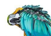 A beautiful blue Macaw