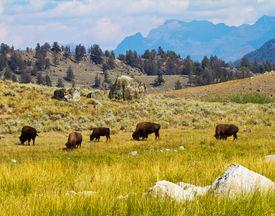 picture of lamar  - Bison grazing in Lamar Valley - JPG