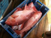 Red Snapper In A Blue Crate