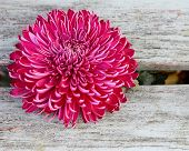 A single purple, pink chrysanthemum
