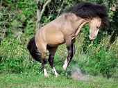 foto of buckskin  - buckskin welsh pony in motion. sunny day