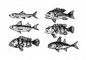 stock photo of loach  - an images of  hand drawn fish Vector illustration - JPG