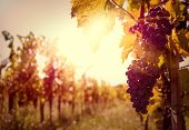 stock photo of harvest  - Vineyards at sunset with grapes in autumn harvest - JPG