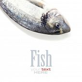 fresh dorada fish over white - food and drink (with easy removable sample text)