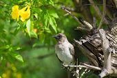 Common Bulbul With Yellow Flower