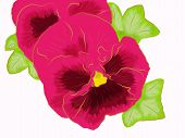 Pink pansy.