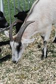 pic of billy goat  - A pygmy goat is a breed of miniature domestic goat.