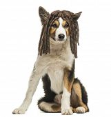 picture of rasta  - Border collie sitting with a rasta wig - JPG