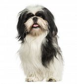 Shi tzu panting, sitting, isolated on white