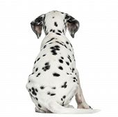 Rear view of a Dalmatian puppy, sitting, isolated on white