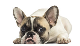picture of saddening  - French Bulldog facing - JPG