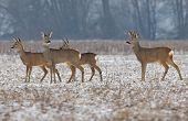 Roe deer herd