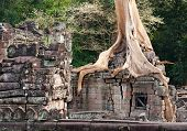 Banyan Rooting In Angkor Stones