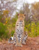 Leopard Sitting In Savannah