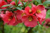 japanese quince bush with pretty,pink flowers at spring