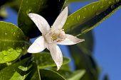 Orange Blossom Macro