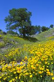 California Poppies And Oak Trees