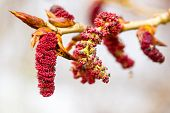 Red Catkins