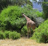 African Giraffes