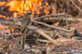 Yellow-billed Shrike Perched In Front Of A Fire