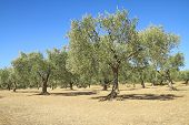 Olive Grove In Greece