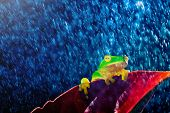picture of orange frog  - Small green tree frog sitting on red leaf in rain - JPG