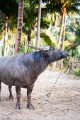 stock photo of carabao  - water buffalo on the sunset in Thailand - JPG