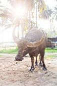 image of carabao  - water buffalo on the sunset in Thailand - JPG